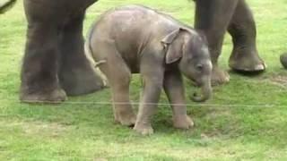 Слонёнок учится ходить.                Baby elephant is learning how to walk