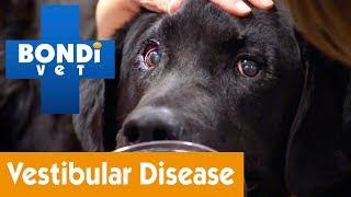 How To Treat Your Dog From Vestibular Disease   Pet Health