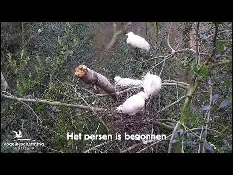 22.03.2019 (Het eerste ei op het voorste nest van de berk)