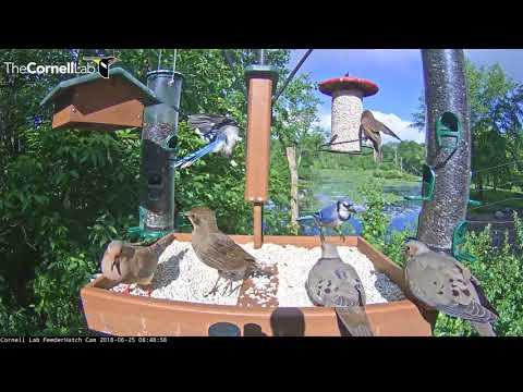 Bustling Bird Feeder On Cornell Lab Feeder Watch Cam – June 25, 2018