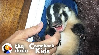 World's Most Adorable Badger   The Dodo Comeback Kids