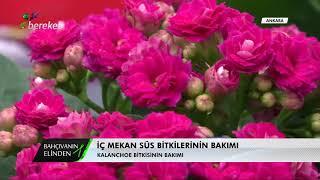 Bahçıvanın Elinden - Kalanchoe Bitkisinde Bakım İşlemleri