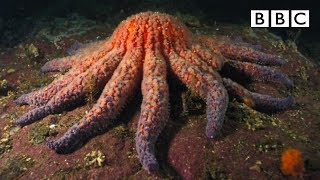Zombie Starfish | Nature