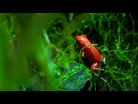 Poison Dart Frogs in 4K