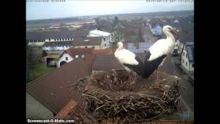 preview picture of video 'Rheinmünster, 10 Feb. 2015, 16:30. Two storks.'