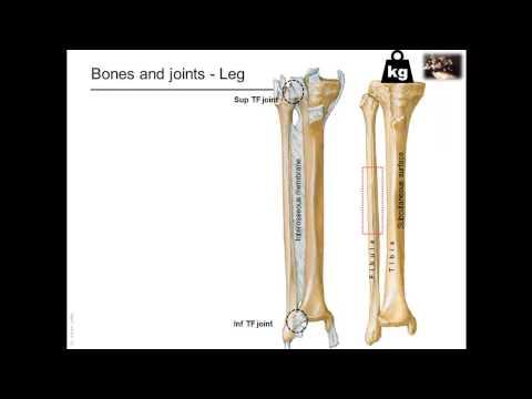 Omówienie budowy kończyny dolnej: kości i stawy