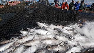 Big Catch Fishing Tuna..You Won't Believe That How Many Fish And Packing Processing Fish