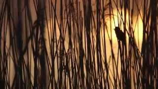 Schilfrohrsänger Bei Sonnenaufgang Am Parchauer See