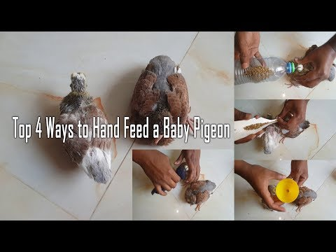 , title : 'Top 4 ways to hand feed a baby pigeon