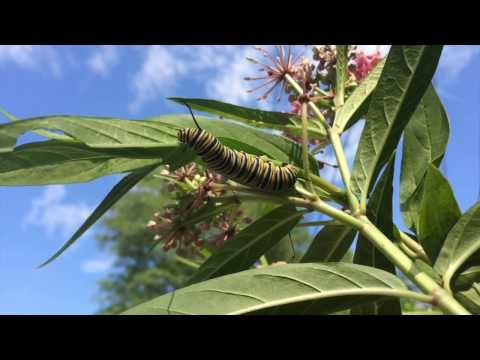Video Tropical milkweed and Monarch butterflies