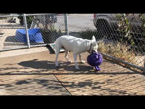 Ziggy, an adoptable Labrador Retriever & American Staffordshire Terrier Mix in Long Beach, NY