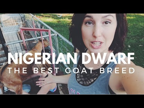 , title : 'NIGERIAN DWARF GOATS: Why you'll fall in love with this breed!