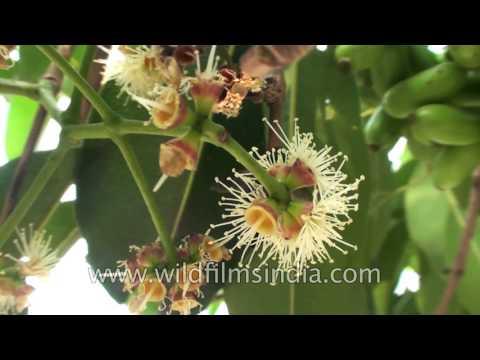 Video Jamun fruit or Black Plum - tree of various medicinal benefits