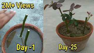 Easiest Way To Grow Rose From Cutting In Hindi With Update,