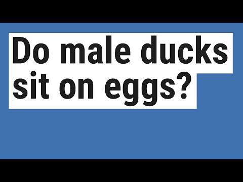 , title : 'Do male ducks sit on eggs?