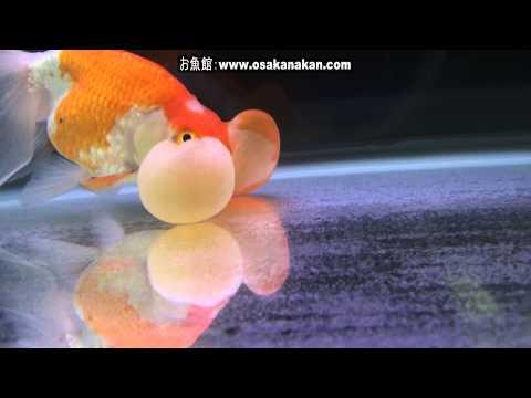 [水泡眼]2013年 第31回日本観賞魚フェア 親魚の部 優勝:加藤 貞則氏持魚