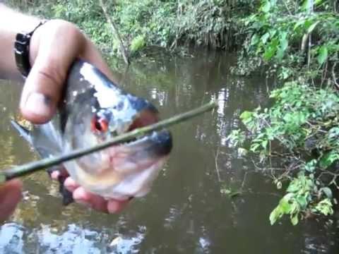 Nể phục với độ sắc răng cá Piranha
