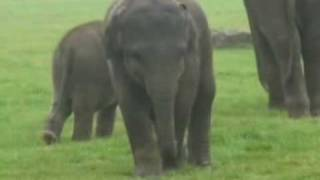 Baby elephants play