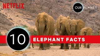 10 Amazing Elephant Facts 🐘 | Our Planet | Netflix