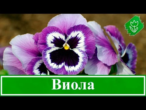 Фиалка Виттрока или Анютины глазки, выращивание семенами на рассаду, посадка и уход