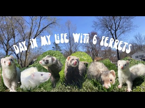 , title : 'Day in My Life with 6 Ferrets / Outdoor Playtime ❀