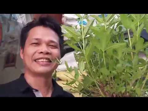 Cây Sả chanh chống muỗi tại Sài Gòn -cửa lưới chống muỗi tự nhiên