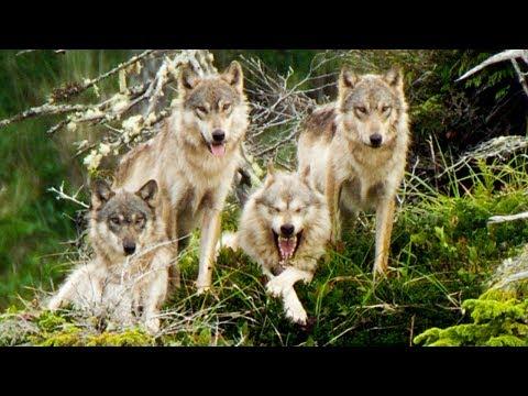 Vlci zachrání svou babičku před vyhladověním
