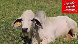 some of the Differences between Boran and Brahman beef breeds by Hamiisi semanda +256773343283