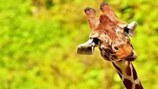 Best Giraffe Videos Compilation 🦒😂 [Funny Pets]
