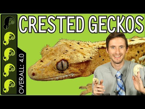 Crested Gecko, The Best Pet Reptile? Mp3