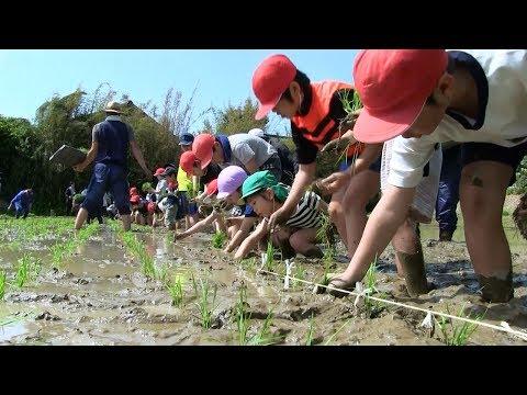 種子島の学校活動:国上小学校もち米田植え体験2018年