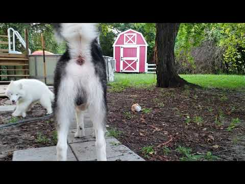 Malamute & Husky Puppy Play & Malamute Jumps In Pool