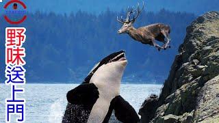 [生物放大鏡] 殺人鯨根本不殺人!?   數個你不知道的殺人鯨秘密   殺人鯨 VS  鯊魚 誰才是海中霸王