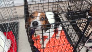 A Dogs Dream Rescue Beagle Adopt-a-thon