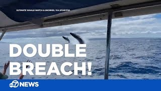 Humpback whales double breach and delight whale watching tour