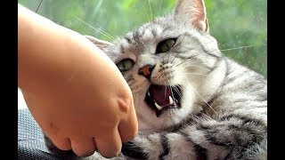两只猫咪脾气大测试,大猫却发飙了,主人:再也不测了!