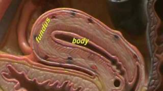 Female Reproductive System - Anatomy ( Midsagittal View)