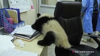 What will happen when a panda cub comes to your office?