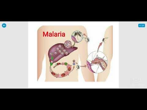 malária plazmodium eritrocitikus szkizogónia)
