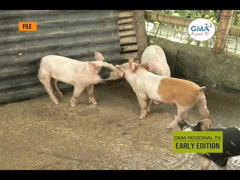 , title : 'GMA Regional TV Early Edition: Sintomas kag Epekto sang African Swine Fever