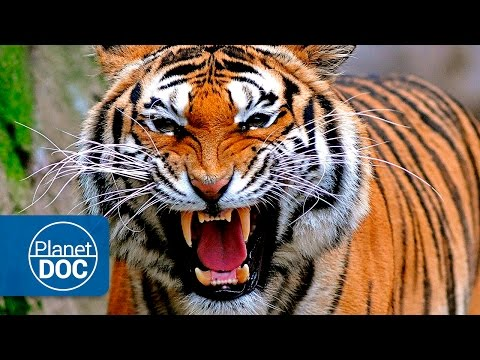 Tigers & Men: Deadly War | Full Documentary Mp3