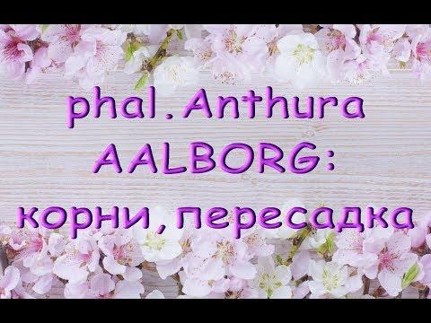 ОРХИДЕЯ phal.Anthura AALBORG:корни,ПЕРЕСАДКА.