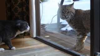 Кошка против рыси / Cat vs. bobcat