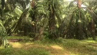 Over 204 Rai of Land for sale With Large Palm Farm in Takua Thung, Phang Nga