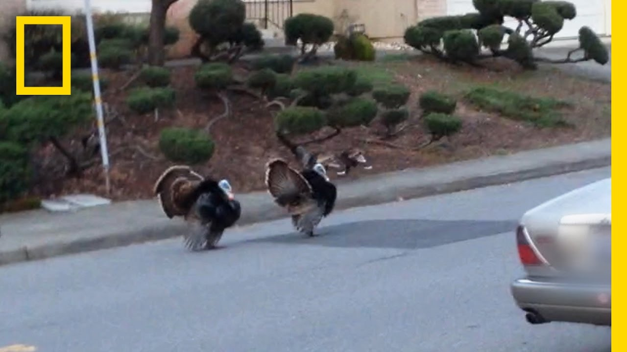 Why Are Turkeys Running Wild in These Neighborhoods? | National Geographic thumbnail