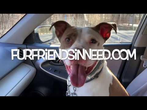 Spot, an adoptable Pit Bull Terrier & Labrador Retriever Mix in Hazlet, NJ