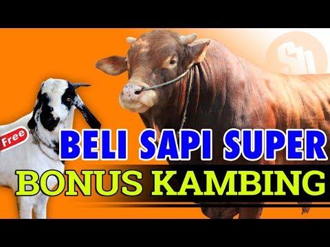 Promo Beli Sapi Qurban Bonus Kambing Qurban #SAPIBAGUS