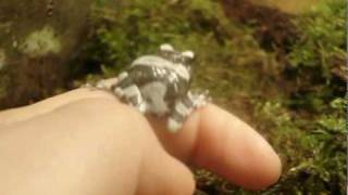 Amazon milk frog video with pictures Phrynohyas resinifictrix