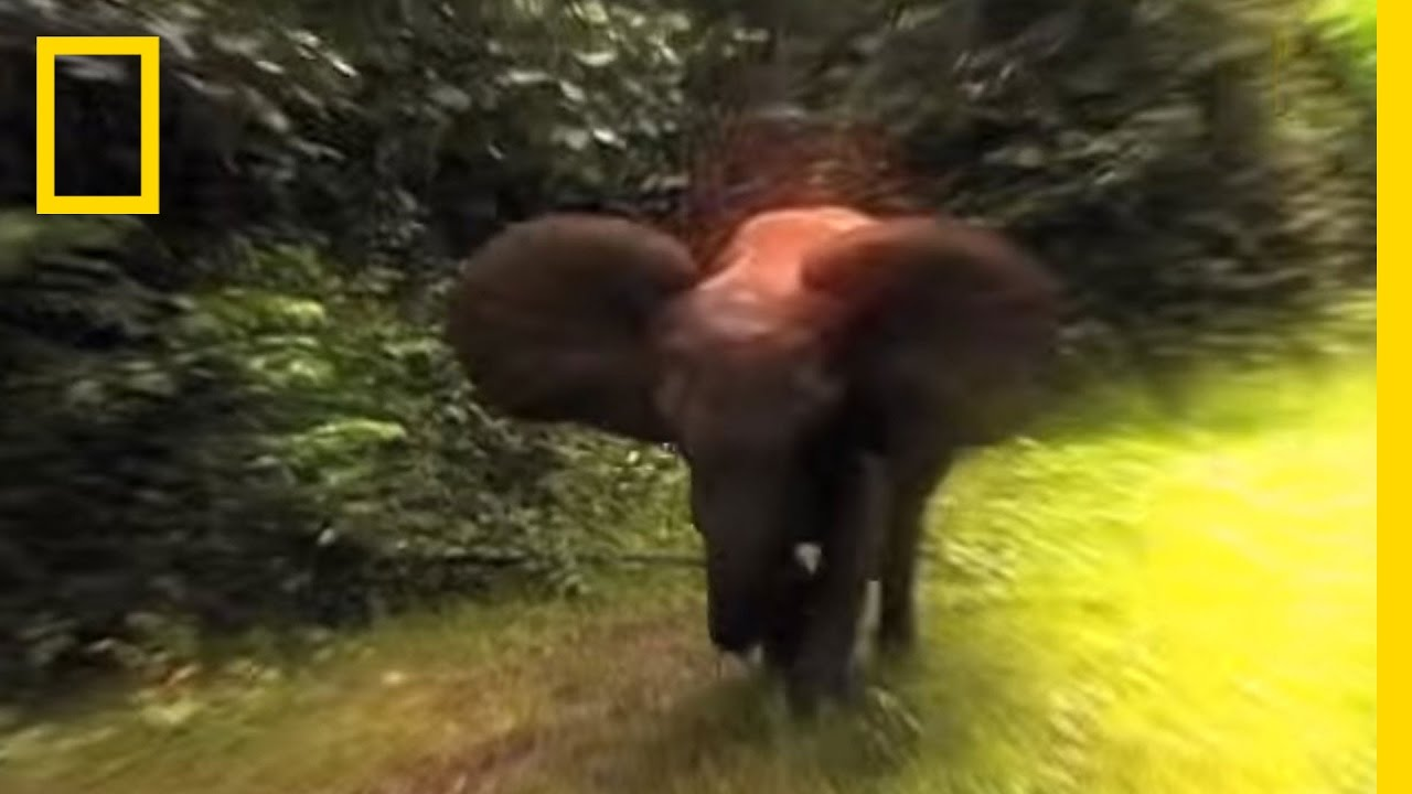 Survival Guide: Elephant Charge | National Geographic thumbnail