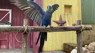 Fort Worth Zoo keeper chat - hyacinth macaw